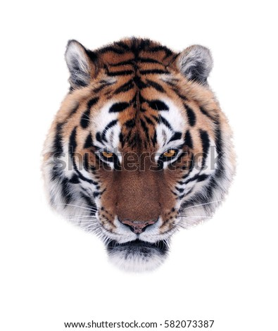 Tiger Watercolor Painting Stock Illustration 542047021 ...