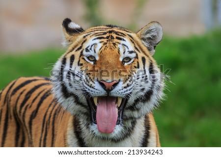 Cheetah Fur Close Up Angry Yawning Tiger Sh...