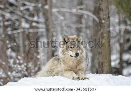 Timber Wolf  on guard in snow covered  forest