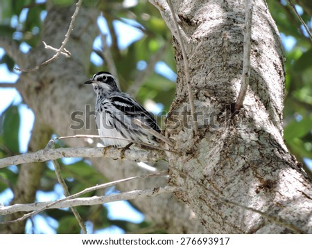 Tiny Black-and-white Warbler perching on branch in a tree