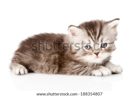 tiny british kitten looking at camera. isolated on white background