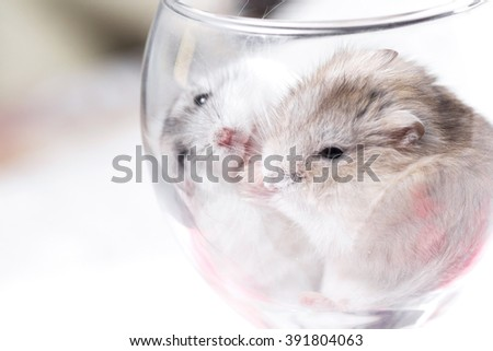tiny Jungar hamsters together in a glass