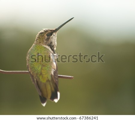 Tiny juvenile male Hummingbird scratching his head