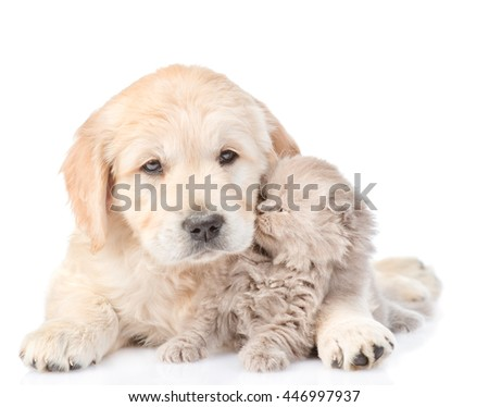 Tiny kitten with golden retriever puppy. isolated on white background