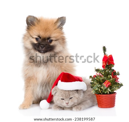 Tiny spitz puppy and scottish kitten with santa hat and christmas tree. isolated on white background