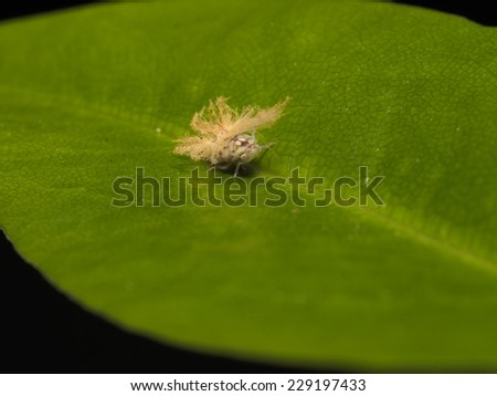 Tiny tree hopper on the leaf