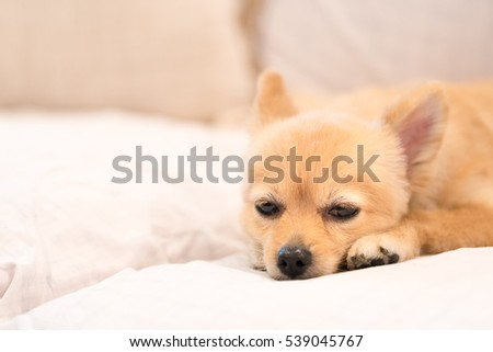 Jack russell dog bed resting owner stock photo 406597690 shutterstock - Dogs for small spaces concept ...
