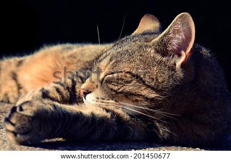 mackerel tabby cat stock photo 61191475  shutterstock