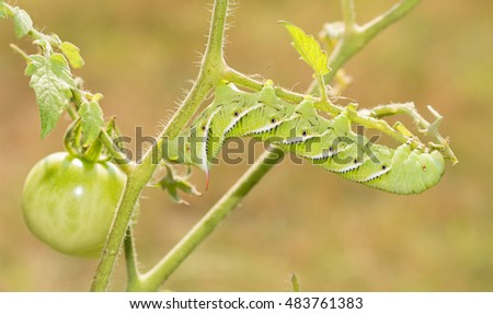 Tobacco hornworm moth caterpillar on a tomato plant