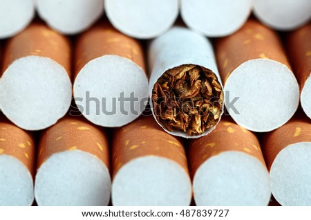 Tobacco in cigarettes with brown filter close up