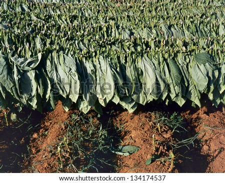 Tobacco  leafs after the harvest drying in the sun