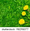 Top view of green grass and dandelion flowers background - stock photo