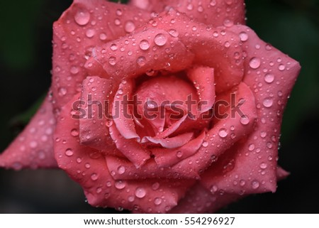 Top view of red rose flower with water drops on petals after the rain