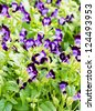 Torenia flower. - stock photo