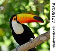 toucan outdoor - Ramphastos sulphuratus - stock photo