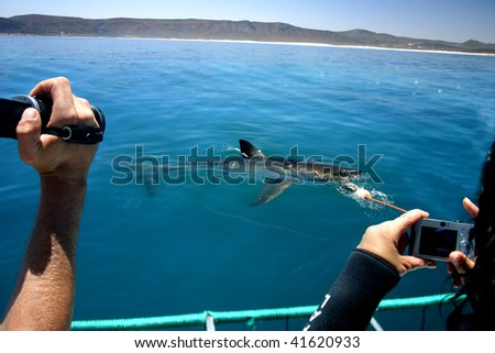 Tourists photographing a great white shark from a boat.