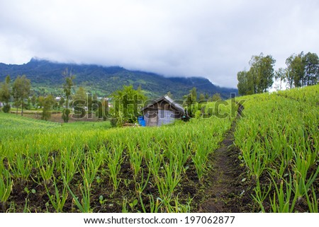 traditional onion farm and small house