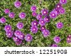 Trailing Iceplant with vibrant pink flowers - stock photo