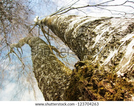 Tree (birch) with two bough in the sky like two legs 1