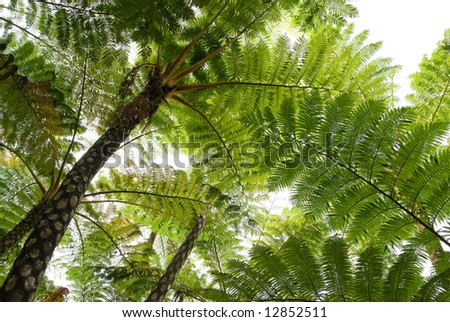 Tree ferns (cyathea lepifera) from below