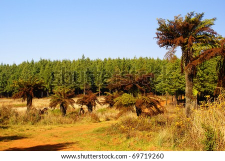Tree ferns in South Africa