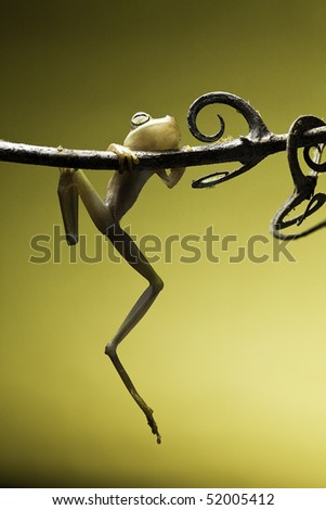 tree frog hanging on a small twig amphibians are nocturnal endangered animals need nature conservation background copy space tropical amazon Bolivia rain forest