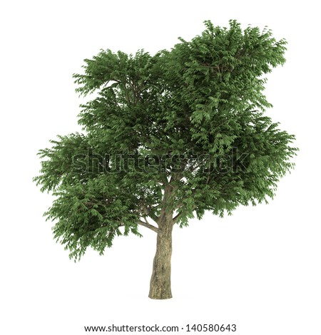 Tree isolated. Arbutus menziesii