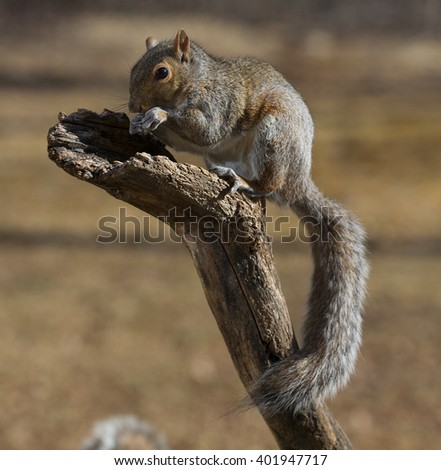 Tree squirrel on top of a dead branch with a long tail