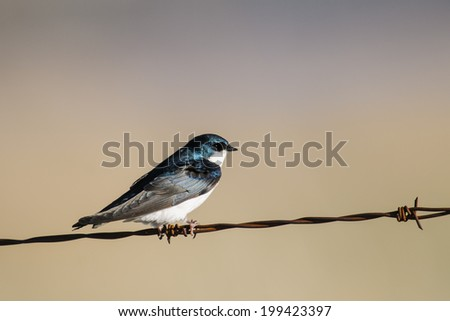Tree Swallow on a barbed-wire fence