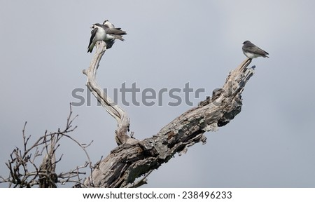 Tree swallows are perching on the dead tree.