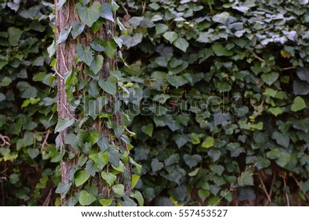 Tree trunk and fence with green ivy climbing vine. Nature background.