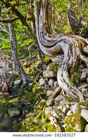 Tree with unique curved trunk at a riverbank with mossy rocks./Tree with unique curved trunk at riverbank