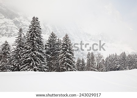 Trees in the snow on a foggy day in the Swiss Alps.