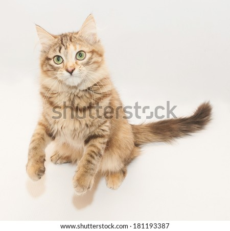 Tricolor fluffy kitten standing on hind legs on gray background