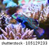 Tropical aquarium Mandarin fish, Synchiropus splendidus - stock photo