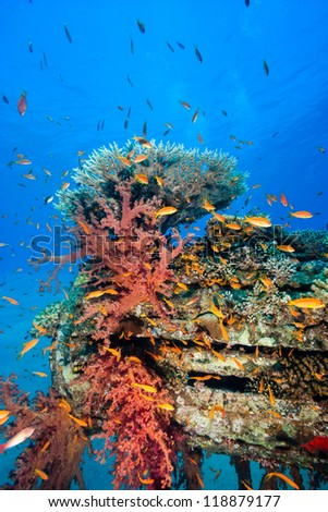 Tropical fish, hard and soft corals colonise an underwater man made pipe