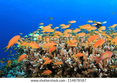 Tropical Fish on coral reef (Lyretail Anthias)