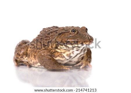 Tropical Frog on White background