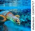 Tropical marine scenery. Red sea diving big colorful sea turtle diving coral reef  - stock