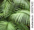 Tropical plant fronts in Daintree Rainforest, Australia. - stock photo