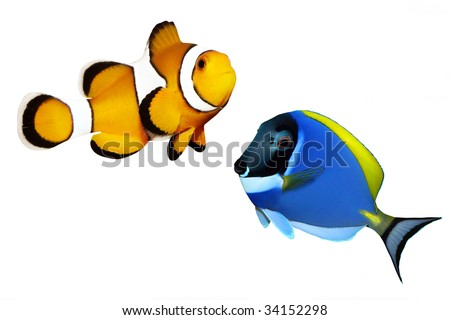 Tropical reef fish - Clownfish and Surgeonfish - isolated on white background