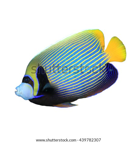 Tropical reef fish: Emperor Angelfish isolated on white background