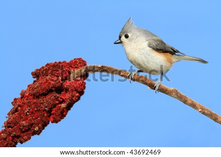 Tufted Titmouse (baeolophus bicolor) on a staghorn sumac flower with a blue background