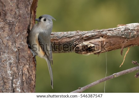 Tufted Titmouse on tree near feeding hole.  Scientific name:  Baeolophus bicolor