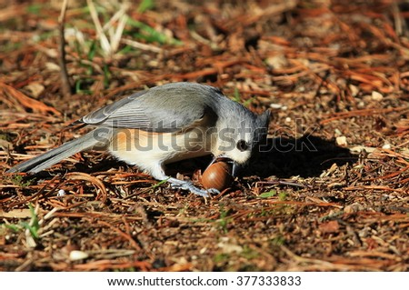 Tufted Titmouse trying to eat  an acorn.