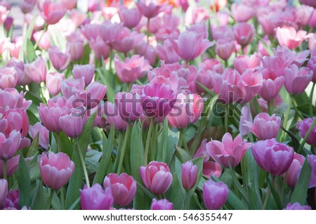 tulip flower. tulip garden. background tulip flower.