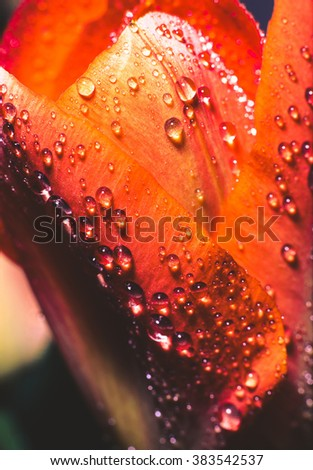 Tulip with drops.