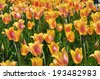 Tulips at Albany Tulip Festival in New York State - stock photo
