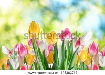 Tulips on a blur background of nature.