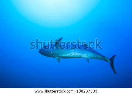 Tuna Fish underwater